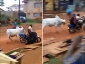Video: Watch the terrifying moment a cow attacked a woman on a motorbike in Osun